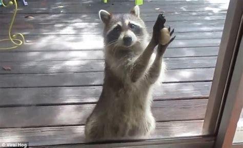 Cat Hits Glass Door Raccoon Steals Homeowner S Cat Food Then Demands More By