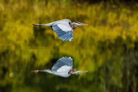 Great Blue Heron Reflected Christopher Martin Photography Blue Heron Nh 2
