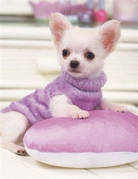 chihuahua puppy clothes chihuahua clothes chihuahua clothes stealer of hearts