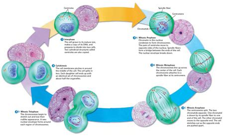 cell cycle diagram to label cell cycle diagrams diagram site