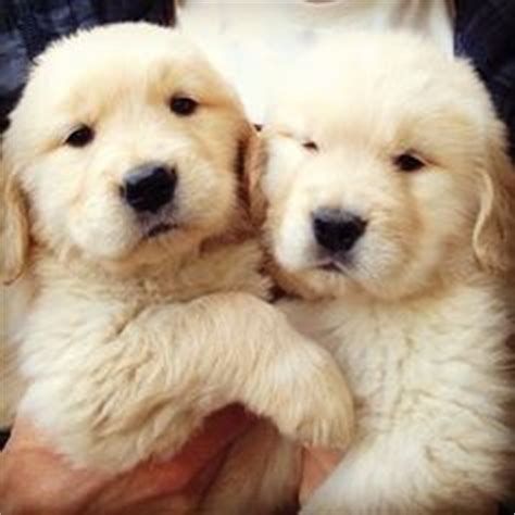 ll bean golden retrievers 1000 images about puppy dogs of mine on goldendoodle golden doodles and
