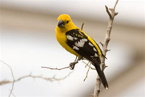 histories of american cardinals grosbeaks buntings towhees finches sparrows and allies order passeriformes family fringillidae literature cited and index classic reprint books mexican yellow grosbeak