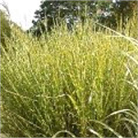 Britzer Garten Regeln by Chinaschilf Miscanthus Sinensis Schneiden Pflege Pflanzen