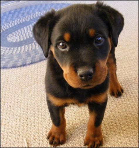 rottweiler with cropped ears 43 best images about doberman on doberman puppies search and dobermans