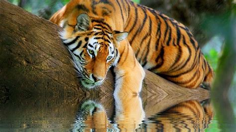 tiger themes for windows 7 free download tiger image wallpapers modafinilsale