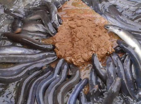 Jual Bibit Ikan Sidat Di Lamongan cara budidaya ikan sidat di kolam terpal itu mudah kok