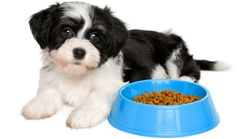 havanese food best food for havanese 7 vet recommended brands mydogsrock