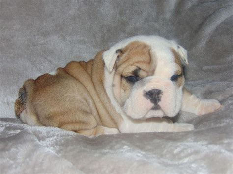 bulldog puppy care care bulldogs bulldog puppies for sale