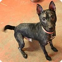 adopt a puppy new orleans new orleans la shar pei mix meet a for adoption