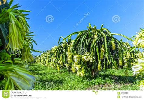 piante da frutto in giardino piante da frutto di fioritura drago giardino