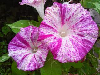 Jual Bibit Bunga Morning jual aneka bibit bunga hias jual bibit bunga murah