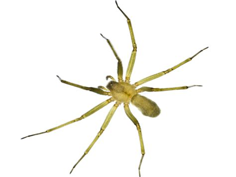 brown recluse image brown recluse spiders information bites more