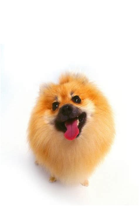pomeranian coat do dogs two coats of fur care daily puppy