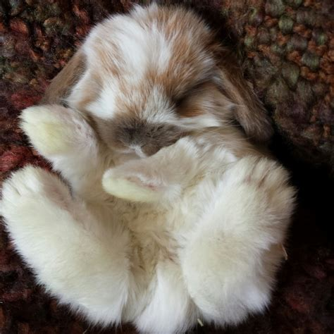 download format lop kecil baby holland lop pictures download foto gambar