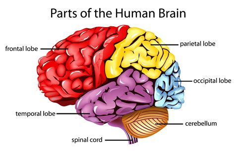 major sections of the brain the human brain and its primary divisions