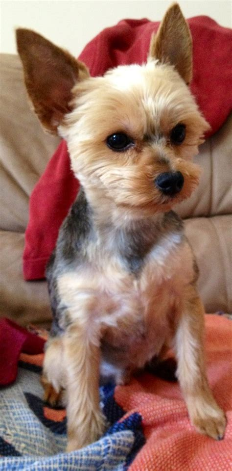 Yorkie Haircuts Pictures Only | yorkie haircuts pictures only yorkie love lucas
