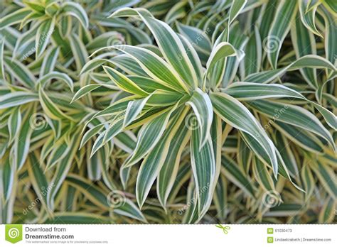 green and white foliage plants variegated plant stock photo image 61030473