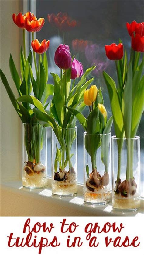 Growing Tulips In Water Vase by Fad How To Grow Tulips In A Vase Indoors