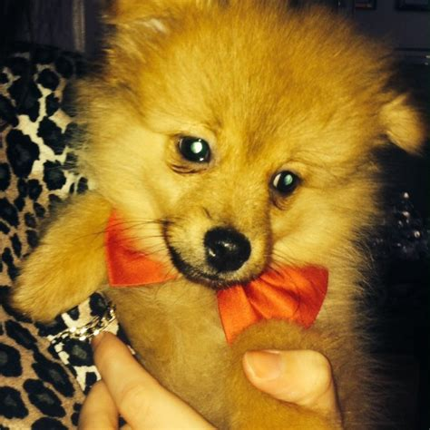 teacup pomeranian for sale in colorado teacup pomeranians puppies for sale liverpool merseyside pets4homes