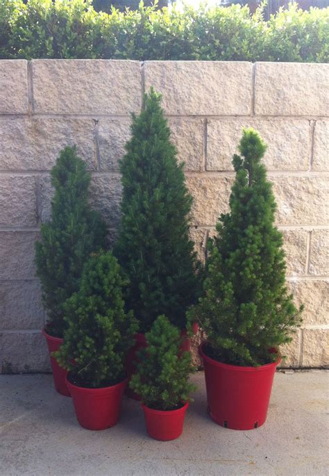 trees for pots