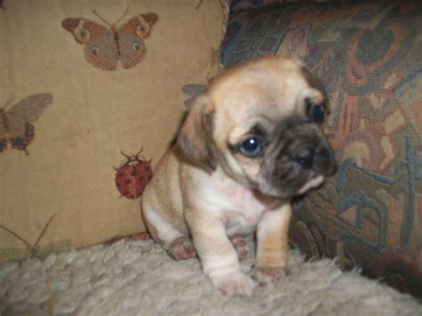 pug x beagle puggles pug x beagle stafford staffordshire pets4homes