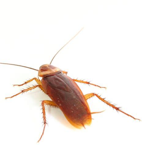 scarafaggi volanti emergenza blatte a roma come fare attenzione e porvi il