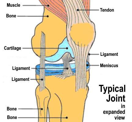 anatomy of the muscular human knee image mpyz jpg jpeg image 531