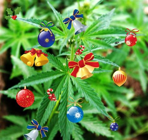 prisoner put christmas decorations on cannabis plant