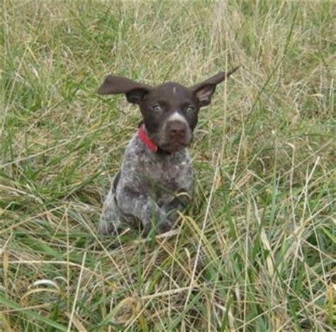 german shorthaired pointer puppies ohio german shorthaired pointers and puppies chaz hound forums