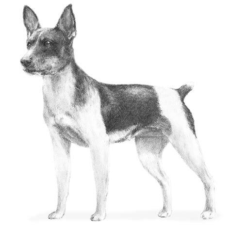 rat terrier dogs rat terrier breed information american kennel club