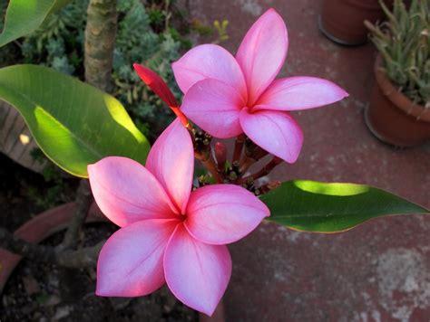 gambar bunga kamboja pink pernik dunia