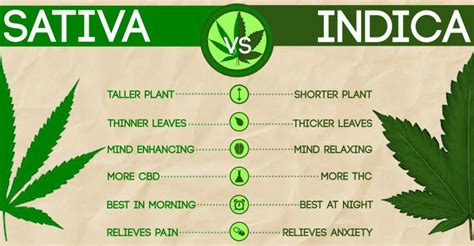 which is better or indica cannabis vs cannabis indica which is better