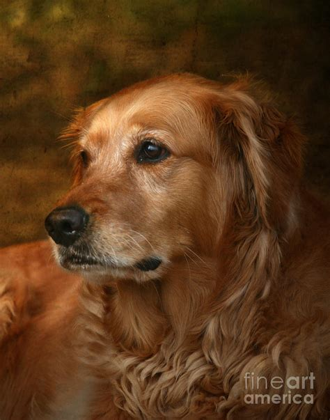 golden retriever magazine golden retriever by jan piller