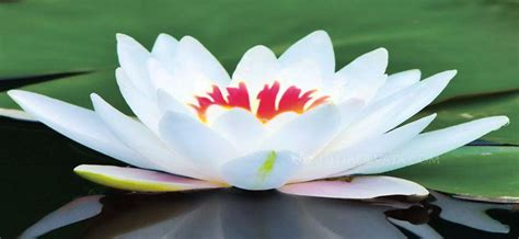lotus flower hindu the lotus flower is one of the most sacred symbols in