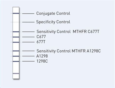Mthfr A1298c Harder To Detox by Genotype Mthfr Detection Of Two Mutations Within The