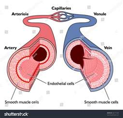 what color are arteries anatomy blood vessels artery through capillaries stock