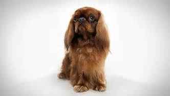 All dog breeds gt gt english toy spaniel dog pics
