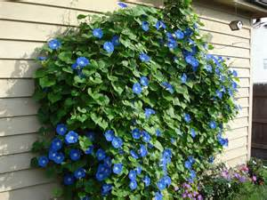 25 best ideas about blue morning glory on pinterest