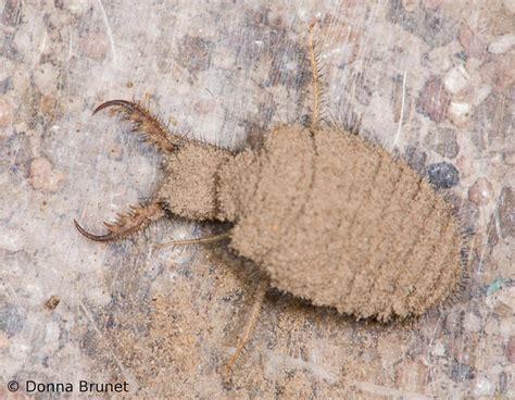 doodlebug antlion antlion larvae doodlebug larvae mdc discover nature