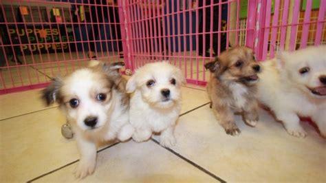 havaton puppies havaton puppies for sale in atlanta ga at puppies for sale local breeders