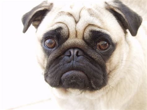 pics of pugs beautiful pug pugs wallpaper 13728088 fanpop