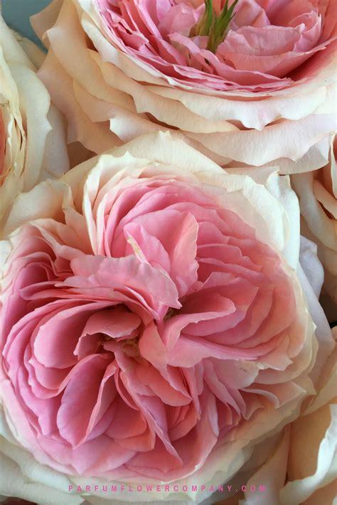 premium garden rose mayras bridal pink