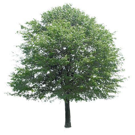 templates tree photoshop image gallery oak tree photoshop