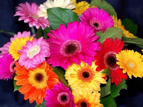 fiore gerbera flowers gerbera flower