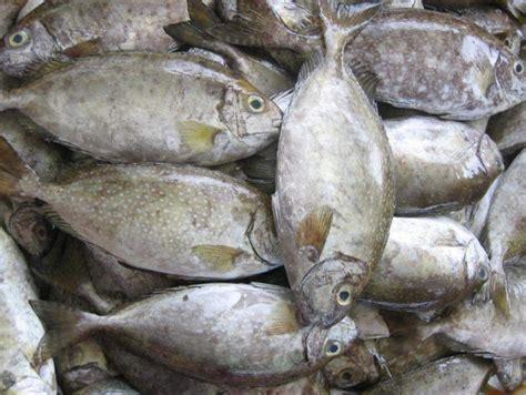 peluang usaha budidaya ikan indonesia peluang usaha budidaya ikan baronang dan analisa usahanya