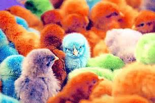 colored chickens multi colored chickens