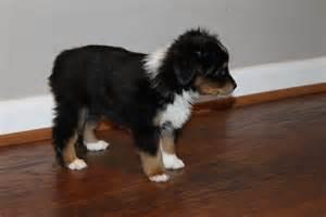 4 week old australian shepherd puppy alangus mini aussies a dog blog pack em up and take