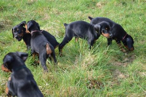 alimentazione dobermann dobermann cuccioli carattere allevamento e altre cose