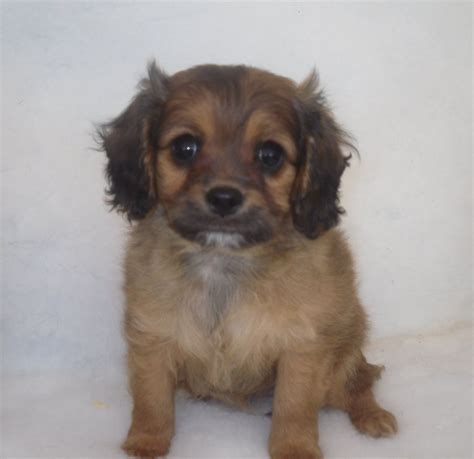 king charles spaniel and pomeranian cavalier pomeranian puppies chester cheshire pets4homes