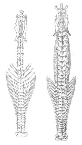 Ac 2365 Original file shrew vertebral columns png wikimedia commons